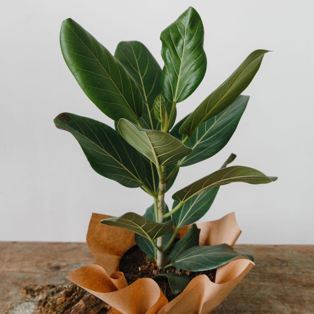 Фикус бенгальский (баньян): фото, уход в домашних условиях. Ficus Benghalensis